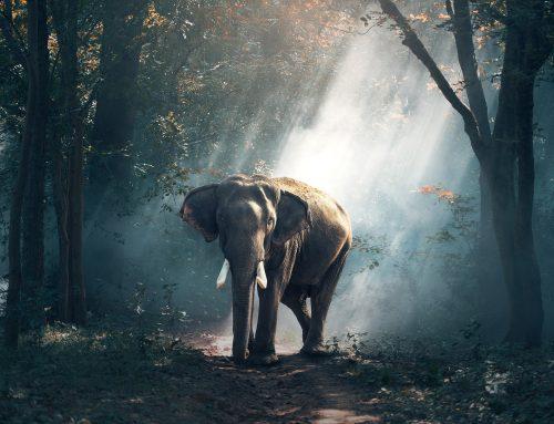 Ein Elefant spürt, wenn er stirbt und zieht sich zurück